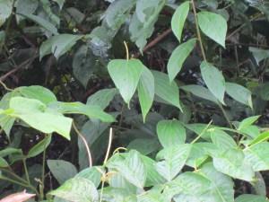Uncaria Tomentosa foglie